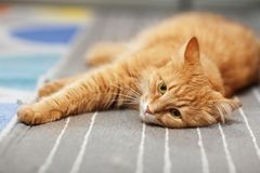 Red cat stretched out on the carpet. A red cat is lying on the carpet. The concept of relaxation Royalty Free Stock Image