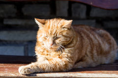 Red cat in the sun Royalty Free Stock Images