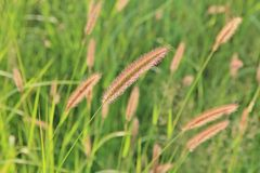 Red Cat Tail Grass Detail - Nature Color Background and Beauty Royalty Free Stock Photo
