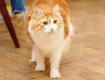 Red cat is in tension Stock Image