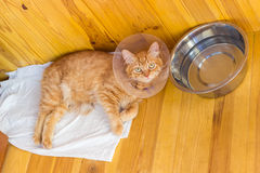 Red cat during treatment of injuries, wearing a Elizabethan coll. Lying on a wooden floor red cat during treatment of injuries, wearing a Elizabethan collar Royalty Free Stock Photos
