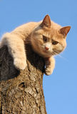 Red cat on a tree. Red cat lying on a tree and staring at camera Royalty Free Stock Images