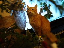 Red cat and tree. Beautiful cat next to the Christmas tree royalty free stock photos