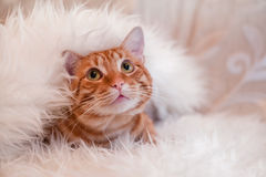 Red cat under blanket. Red cat laying under white fur blanket Royalty Free Stock Photo