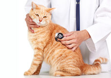 Red cat with veterinarian doctor. Stock Image