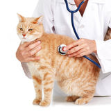 Red cat with veterinarian doctor. Royalty Free Stock Photo