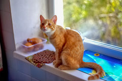 Red cat waiting for treats royalty free stock photography