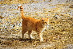 Red cat walking on a farm Royalty Free Stock Photos