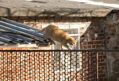 A red cat walking on a fence; Poland. Stock Images