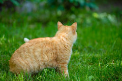 Red cat walking on the grass Royalty Free Stock Image