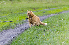 Red cat walking through the green grass on a leash. Stares into the distance Stock Photography