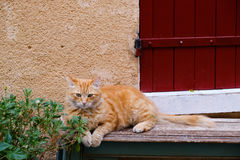 Red cat walking portrait. Red cat lying portrait outdoors Stock Photos
