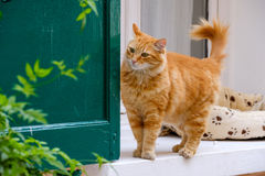 Red cat walking portrait. Outdoors Royalty Free Stock Images