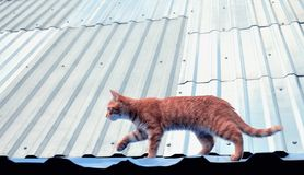Red cat is walking on the roof stock photos
