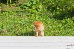 Red cat walking on the street in the yard stock photography
