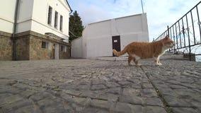 Ginger cat walking on the sidewalk stock video