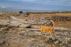 Red cat walks on sights of the destroyed ancient city Hierapolis in Pamukkale, Turkey шт summer day Stock Photos