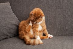 Red cat washes leg on the sofa. mental disorders of animals. obsessive licking. A different cat character sadness stock photos
