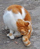 Red cat washing itself. Royalty Free Stock Images