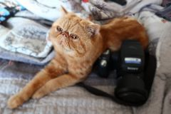 Red cat is watching lying in bed next to the camera. Red cat looks lying in bed near the camera which is not in focus area stock images