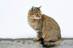 Red cat is watching. Prints wet paws. Free independent cat with wet paws Stock Photo
