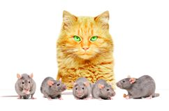 Red cat watching rats royalty free stock images