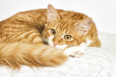 Red cat watching Royalty Free Stock Photos