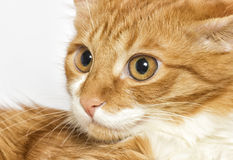 Red cat watching Royalty Free Stock Images