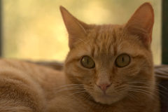 Red Cat is watching you Royalty Free Stock Images