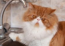 Red cat with water droplets on a muzzle. Sits in kitchen sink Royalty Free Stock Photo