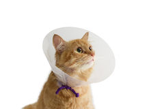 Red cat, wearing a Elizabethan collar on a light background. Red cat, wearing a transparent plastic Elizabethan collar on a light background Stock Photography