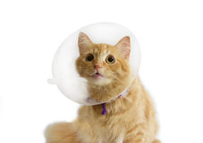 Red cat, wearing a Elizabethan collar on a light background. Red cat, wearing a transparent plastic Elizabethan collar on a light background Stock Photo