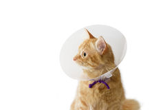 Red cat, wearing a Elizabethan collar on a light background. Red cat, wearing a transparent plastic Elizabethan collar on a light background Stock Image