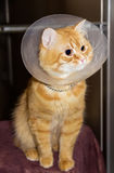 Red cat, wearing a Elizabethan collar. Red cat, wearing a transparent plastic Elizabethan collar Stock Photography
