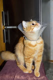 Red cat, wearing a Elizabethan collar. Red cat, wearing a transparent plastic Elizabethan collar Royalty Free Stock Photos
