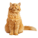 Red cat. On a white background royalty free stock photos
