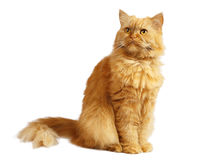 Red cat. On a white background royalty free stock photography