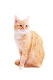 Red cat on a white background Royalty Free Stock Photo