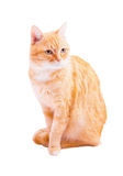 Red cat on a white background Royalty Free Stock Photos