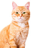Red cat on a white background, isolated Royalty Free Stock Image
