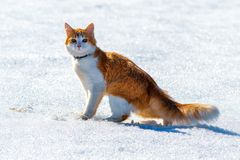 Red cat on a snow-covered field. A red cat with a white breast and red eyes in a collar stands on a snow-covered field royalty free stock photo
