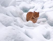Red cat on white snow. The red cat goes on snowdrifts Royalty Free Stock Photo