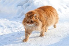 Red cat on the white snow Royalty Free Stock Image