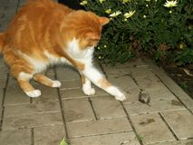 Cat caught a mouse Stock Image