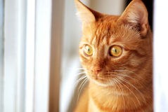 Red Cat at the window. Red cat stares out the window Stock Photos