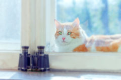 Red cat between window frames Royalty Free Stock Image