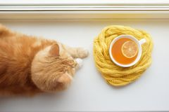 The red cat smells a hot cup of tea in a scarf on a window sill. Red cat at a window with a hot cup of tea stock photography