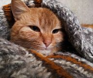 Red cat in a wool knitted sweater. Ruby cat stock photography