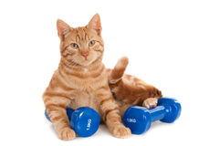Red cat working out with two dumb bells Stock Photo