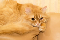 Red cat on a yellow leather couch Royalty Free Stock Photography